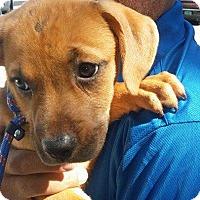 Adopt A Pet :: Kaya - Bernardston, MA