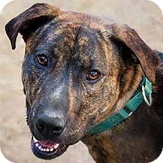 Labrador Retriever Mix Dog for adoption in Phoenix, Arizona - Indigo