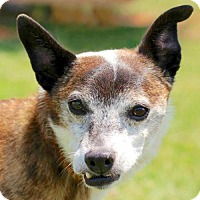 Rat Terrier Dog for adoption in Virginia Beach, Virginia - Dr. Watson (VA)