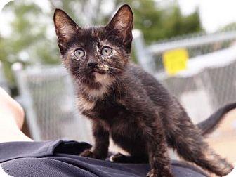 Domestic Shorthair Kitten for adoption in St.Ann, Missouri - Emma
