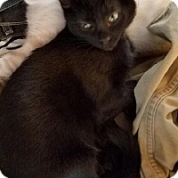 Domestic Shorthair Cat for adoption in Tampa, Florida - Jesse