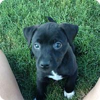 Labrador Retriever Mix Puppy for adoption in Rochester, New Hampshire - Sox