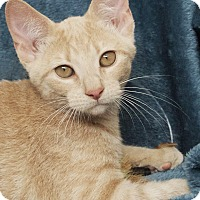 Domestic Shorthair Cat for adoption in St Louis, Missouri - Tessie