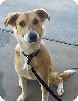 Collie/Anatolian Shepherd Mix Dog for adoption in Chandler, Arizona - ChanChan