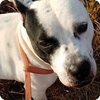 American Staffordshire Terrier Dog for adoption in Jackson, Georgia - Lily