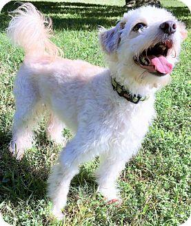 Poodle (Miniature)/Terrier (Unknown Type, Medium) Mix Dog for adoption in Waco, Texas - Spirit