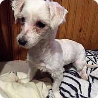 Adopt A Pet :: Lyra - Buffalo, NY