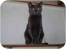 Domestic Shorthair Cat for adoption in North Boston, New York - Polly