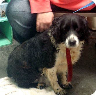 English Springer Spaniel/Border Collie Mix Dog for adoption in baltimore, Maryland - Chapel