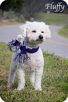 Bichon Frise Dog for adoption in Albany, New York - Fluffy