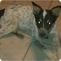 Adopt A Pet :: Billy the Kid - Phoenix, AZ