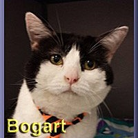 Adopt A Pet :: Bogart - Aldie, VA