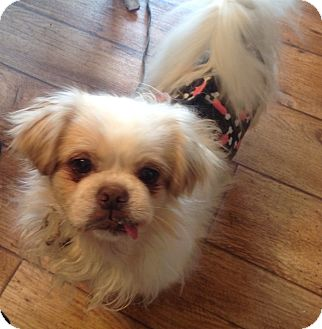 Pekingese Dog for adoption in Lincolnwood, Illinois - Suni