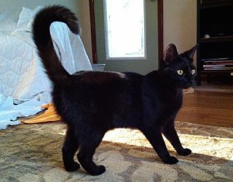 Domestic Shorthair Cat for adoption in Clearwater, Florida - Windie