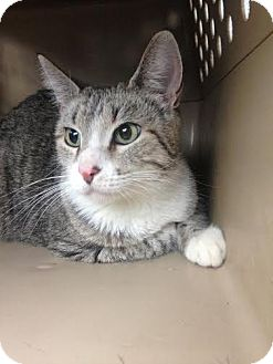 Domestic Shorthair Cat for adoption in St. Louis, Missouri - Mama Cass