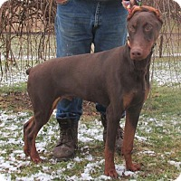 Adopt A Pet :: AKC DOBERMAN ~ EUROPEAN BLOOD LINES (BIG) - WOODSFIELD, OH