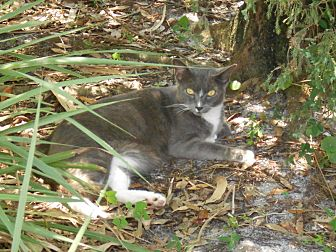 Domestic Shorthair Cat for adoption in Bonita Springs, Florida - MacAllister