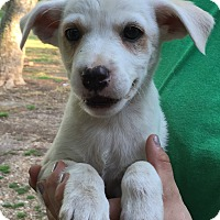 Adopt A Pet :: Marcy - Starkville, MS