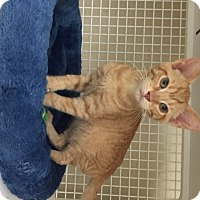 Domestic Shorthair Kitten for adoption in San Antonio, Texas - Rusty