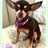 Adopt A Pet :: CiCi - Seattle, WA