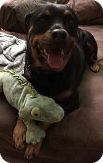 Rottweiler Mix Dog for adoption in Mesa, Arizona - Jasmine