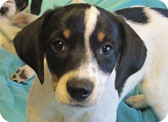Beagle/Hound (Unknown Type) Mix Puppy for adoption in Harrisonburg, Virginia - Cannoli