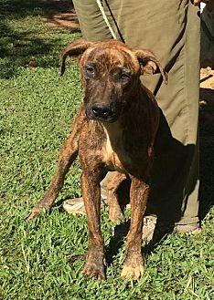 Catahoula Leopard Dog Mix Dog for adoption in Slidell, Louisiana - Gus