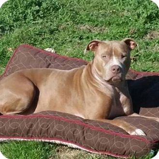 American Pit Bull Terrier Dog for adoption in Fulton, Missouri - Simba - Texas