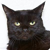 Domestic Shorthair Cat for adoption in Salem, Massachusetts - Duchess