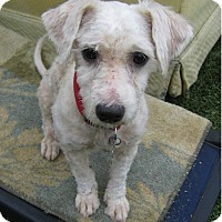 Poodle (Standard)/Maltese Mix Dog for adoption in Manhattan Beach, California - Chase