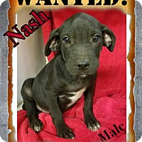 Adopt A Pet :: Nash in CT - Manchester, CT