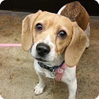 Beagle Dog for adoption in Fairfax, Virginia - Franny *Adoption Pending*