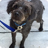 Cairn Terrier Mix Dog for adoption in Pompano beach, Florida - Todo