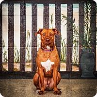 Adopt A Pet :: Tulip - Jacksonville, FL