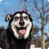 Shepherd (Unknown Type)/Husky Mix Dog for adoption in Baltimore, Maryland - Daisy