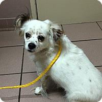 Adopt A Pet :: Ollie - Las Vegas, NV