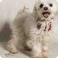 Adopt A Pet :: Aristotle, Maltese Beauty - Corona, CA