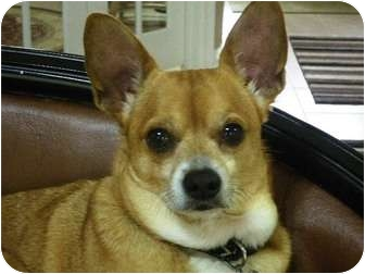 Chihuahua/Terrier (Unknown Type, Small) Mix Dog for adoption in Baytown, Texas - Boogie