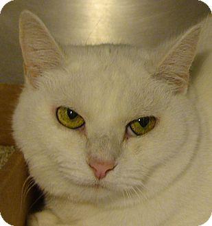 Domestic Shorthair Cat for adoption in El Cajon, California - Snow White