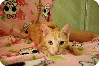 Domestic Shorthair Kitten for adoption in Fountain Hills, Arizona - GUIDO