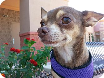 Chihuahua Mix Dog for adoption in Gilbert, Arizona - Hazelnut