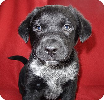 Labrador Retriever Mix Puppy for adoption in Hadley, Michigan - Romeo