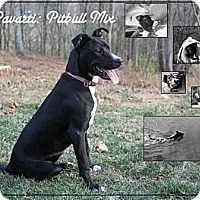 Adopt A Pet :: PARVARTI (Pronounced Poverty) - Bluemont, VA