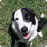 Adopt A Pet :: Captain - Palmetto, FL