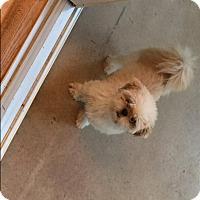 Adopt A Pet :: Pixie - Homer Glen, IL