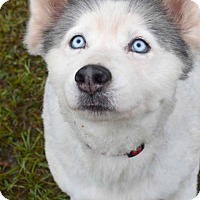 Adopt A Pet :: Bella - Roswell, GA