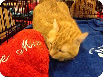 Domestic Shorthair Cat for adoption in Jenkintown, Pennsylvania - Jenga