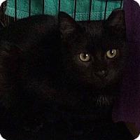 Adopt A Pet :: Kitty Munchkin Silky&Shimmer'1 - New York, NY