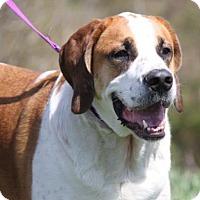 Adopt A Pet :: Chief Bernard - Westminster, MD
