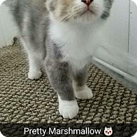Adopt A Pet :: Marshmallow - Chicago, IL